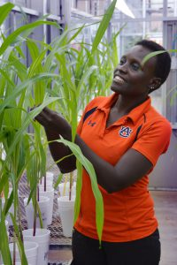 Esther Ngumbi′s mother urged her to do well in school. She was the first girl from her village to earn a Ph.D. (in entomology) and now does postdoctoral research on plant pathology at Auburn University. Above, she′s inspecting some corn plants treated with rhizobacteria to promote growth. Courtesy Esther Ngumbi
